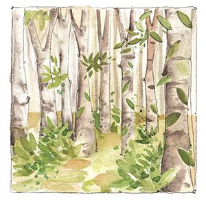acquerello foresta del casentino